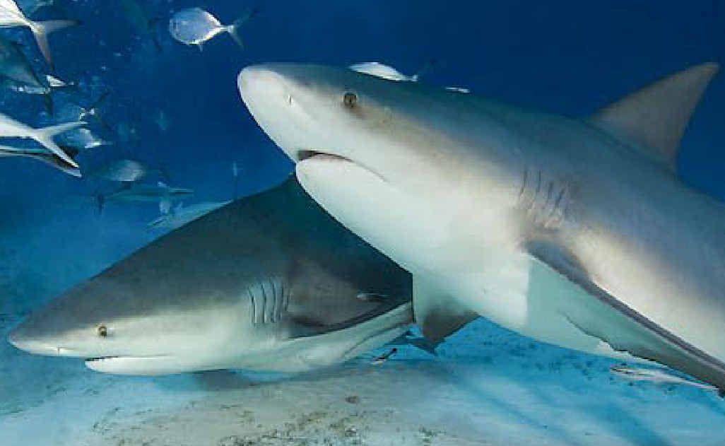 Bull sharks in Sunshine Coast rivers | Sunshine Coast Daily