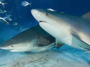 Bull sharks in Sunshine Coast rivers