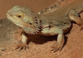 Australian native bearded dragon.