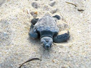 Turtle nesting numbers increase on Coast