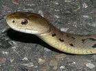 A snake catcher crashed his car after he was bitten twice by a highly venomous rough scaled snake.