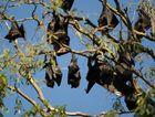 Bats roosting at Tooan Tooan Creek in Pialba.