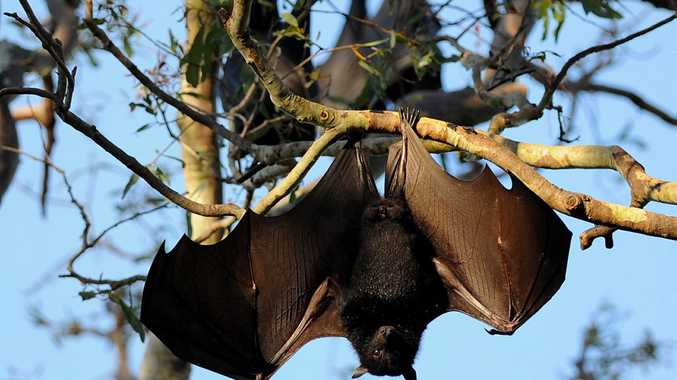 Bob Katter wants the Queensland Government to remove protections for flying fox colonies.