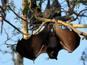 Greens label Katter's bat call 'reckless and irresponsible'