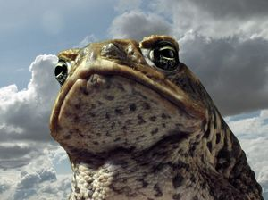 Cane toads found on Great keppel Island for the first time