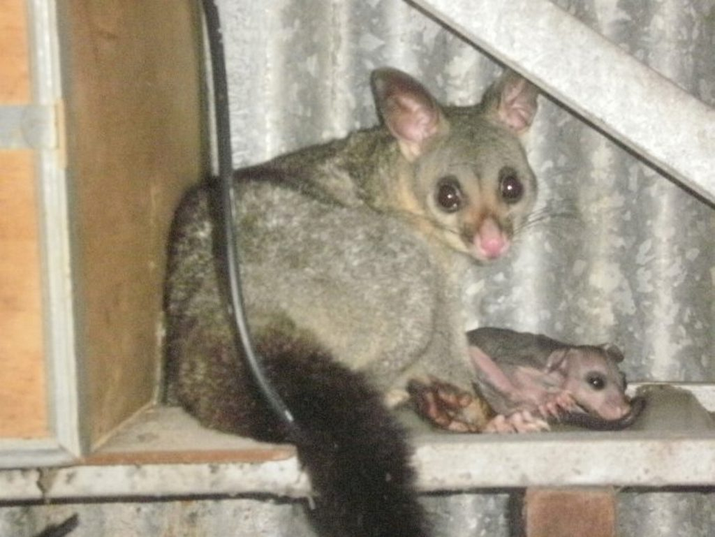 A possum and her baby do what they can to escape the heat.