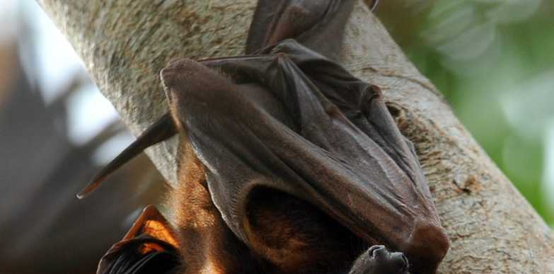 FLYING MENACE: Bundaberg Regional Council is looking to relocate a colony of bats that have taken up residence in Bargara. Photo: Max Fleet / NewsMail