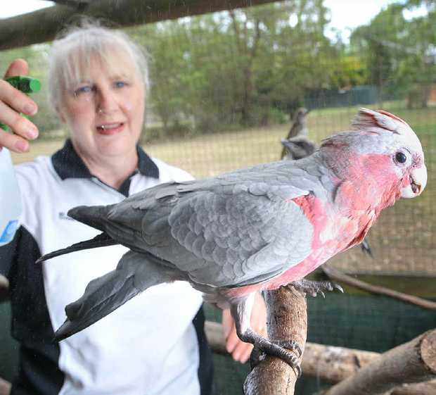 DEDICATION: Wildlife carer Beverley Clarke sprays water on her birds to keep them cool.