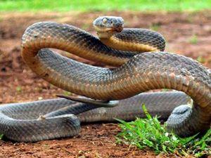 Deadly Brown Snake in backyard