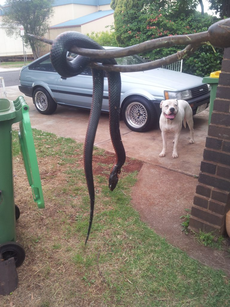 The red-bellied black snake found in a Wilsonton home.