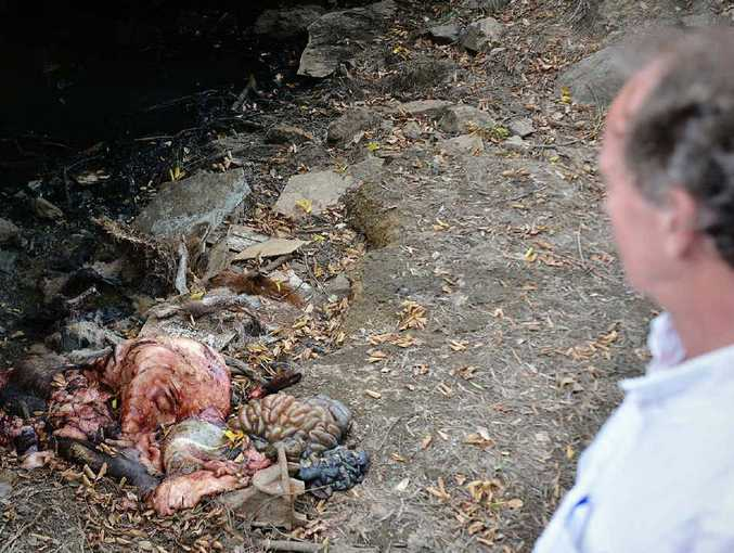 Arthur Gorrie tries not to get too close to the pig remains, the kangaroo corpse, or the illegally-dumped asbestos waste in Gympie Creek.
