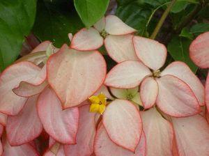 Mussaenda shrubs add beauty to the humble Aussie garden