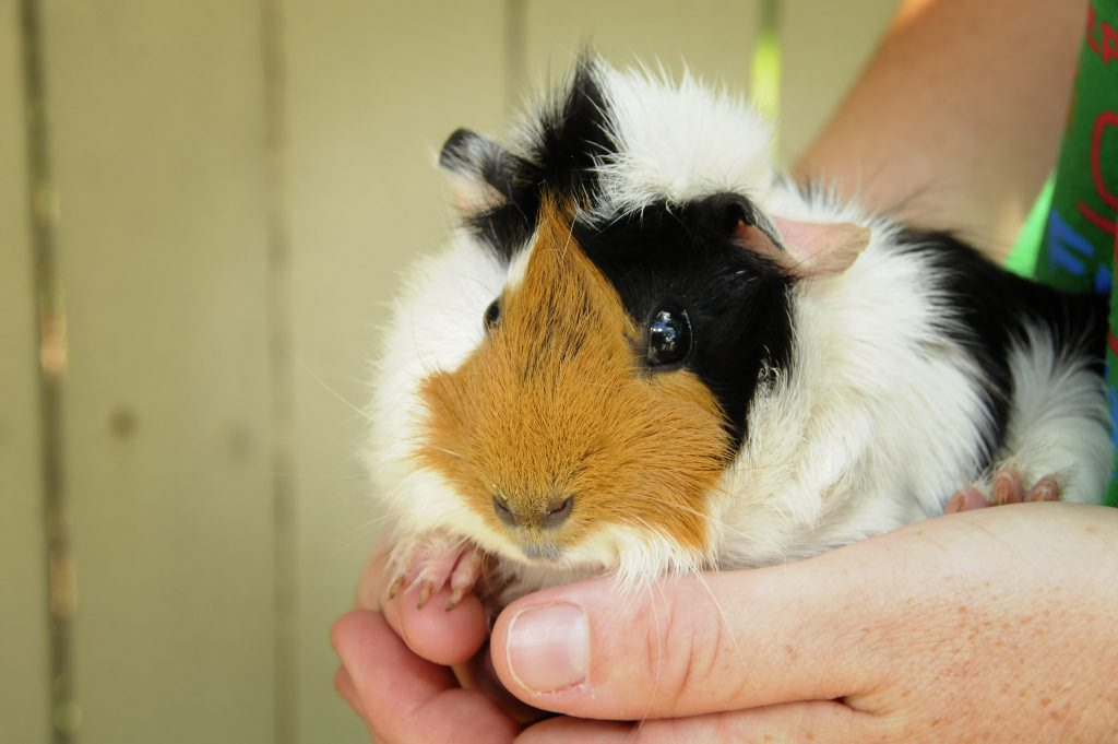 Guinea pigs can drown in the backyard during flooding and heavy rain, the RSPCA warns.