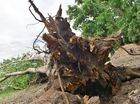 A large tree near Penda Avenue, New Auckland was uprooted from the ground due the severe weather conditions in Gladstone.
