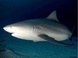 Aggressive bull sharks hunt in Richmond River