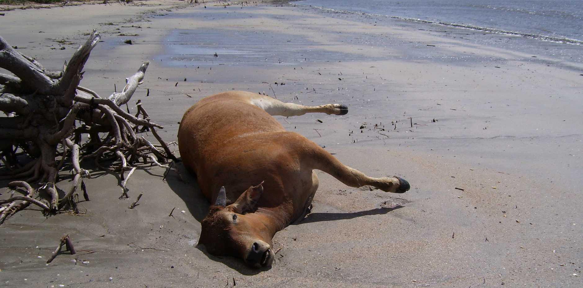 A dead beast at a Zilzie beach