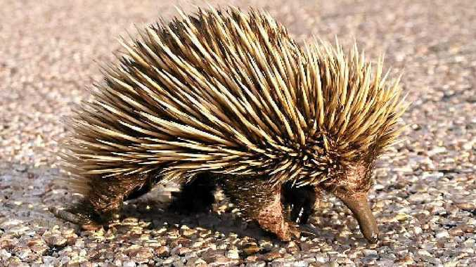 PRICKLY PROBLEM: Curious young echidnas can get themselves into trouble as they explore.