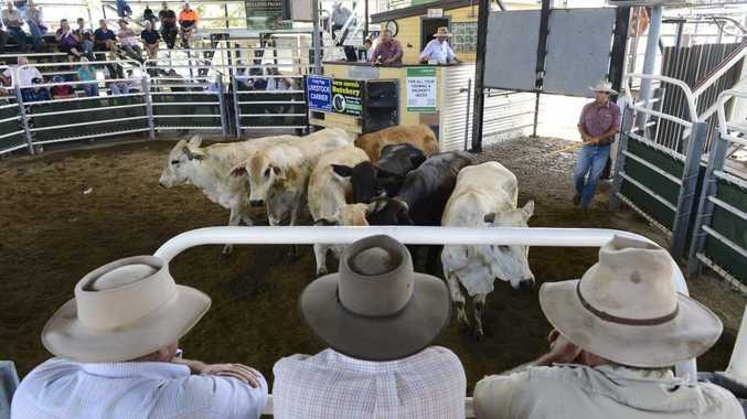 Last Thursday's store cattle sale at the Grafton Livestock Selling centre had more than 500 head of cattle up for sale.