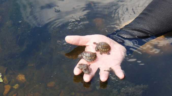 Concern For Rare Turtles Taken As Pets From Mary River