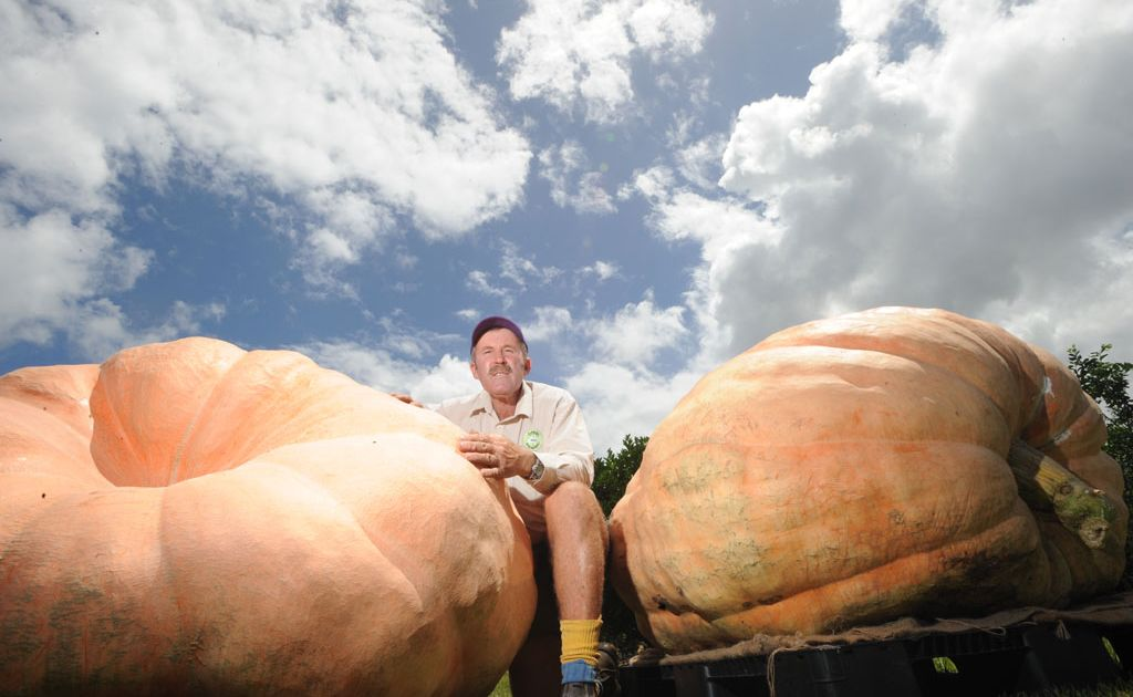 GROUND GIANTS: Brunswick Wholesale Plants owner John Mills with his Atlantic giant pumpkins which weigh up to 570kg.
