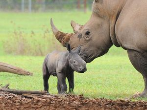 Bouncing baby rhino already walking around Australia Zoo
