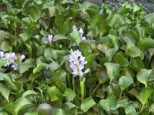 The water hyacinth problem shouldn't be as bad as it has been in previous flood years.