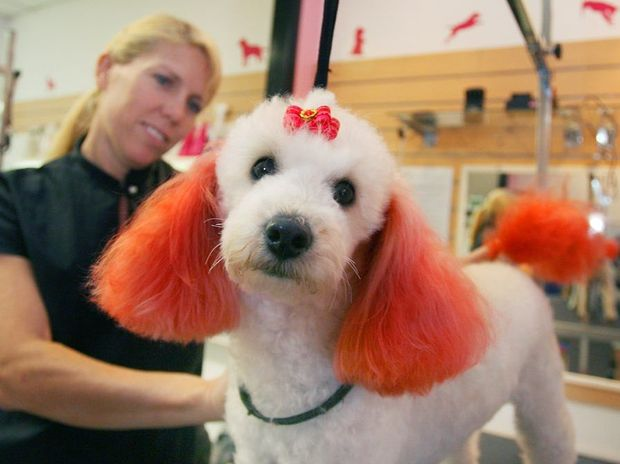 Miniature pooldle Tess getting a makeover for Valentines Day from Pawkids owner Vicki McArthur. Photo: Chris Ison / The Morning Bulletin