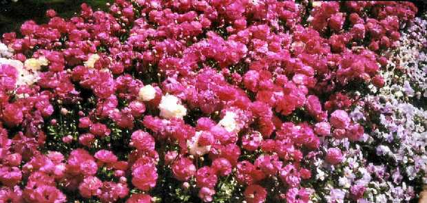 FLOWER POWER: Dorothy Kable's endless line of shades of pink won the plant class in the local photography competition.