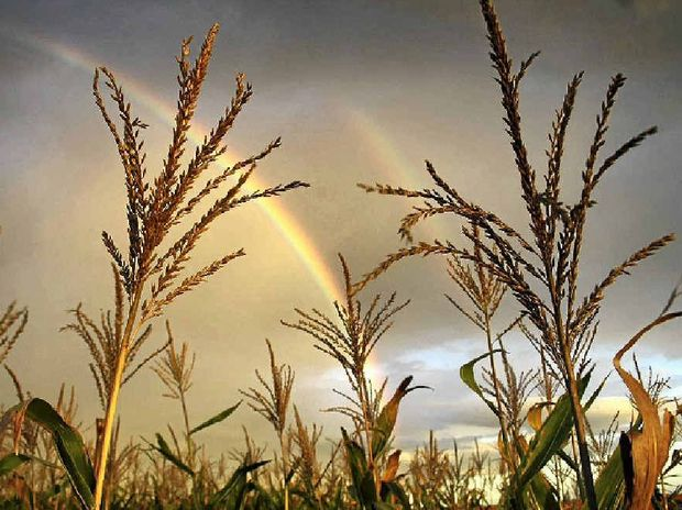 RURAL BEAUTY: A rainbow is visible through sorghum on the Black family's Cecilvale property at Brookstead.