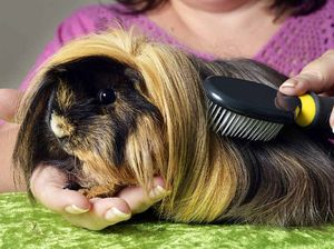 Fergie is one glam guinea pig