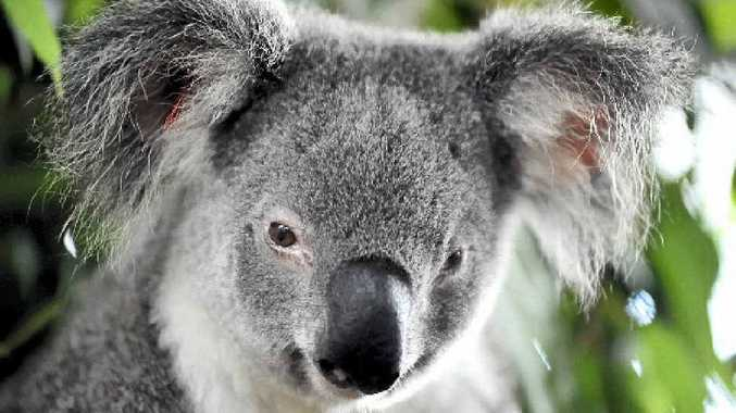 DANGER ZONE: Rosalie the koala, pictured at the Friends of the Koala enclosure at East Lismore. The Federal Government has listed the koala as a vulnerable species in some parts of Australia.