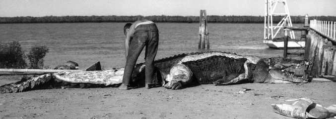 A massive crocodile found near Port Alma in 1963.