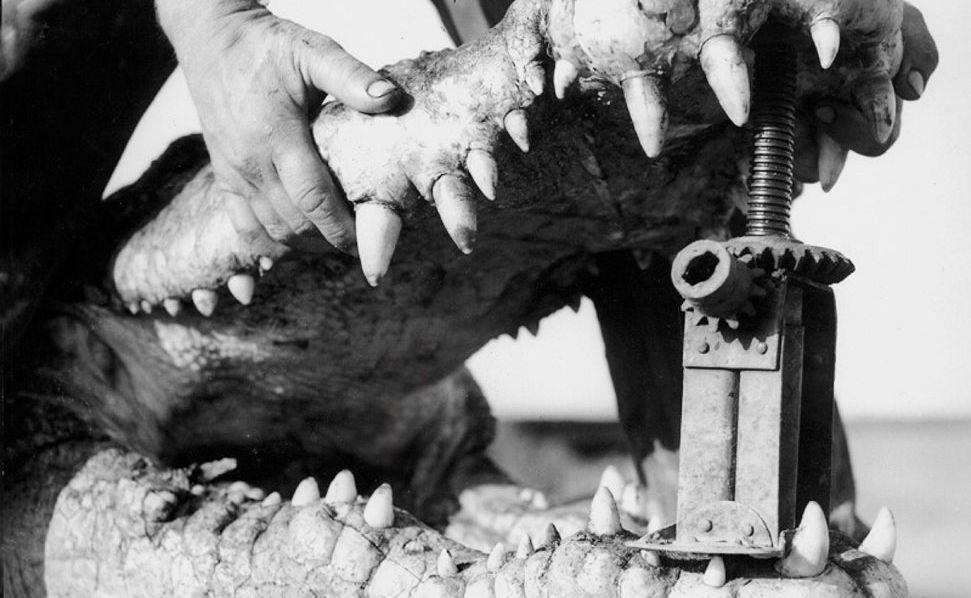 The croc head.