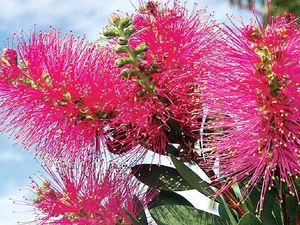 Aussie Winners deliver with top quality plants