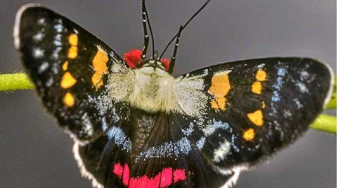 Joseph's Coat Moth – an unusual day flying moth is aptly named.