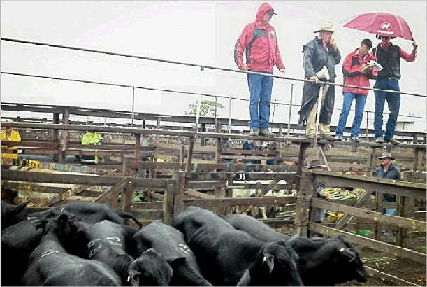 WEATHER FOR DUCKS: Elders livestock agents attempt to stay dry at Monday's cattle sale.