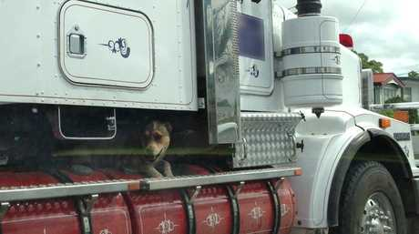 A dog taking a ride on a truck in Rockhampton last week.