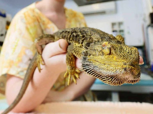 SPECIAL PATIENT: RSPCA wildlife vet nurse Madeline Rienecker with bearded dragon Dexter who will undergo radiation treatment to stop a tumour growing above his right eye.