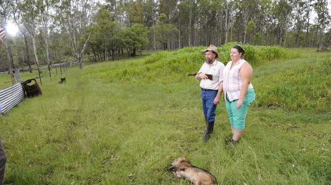 Tac and Lyn Campbell look over the body of a wild dog which was shot by Tac after it attacked their flock of sheep in the early hours of Sunday morning. Photo JoJo Newby / The Daily Examiner