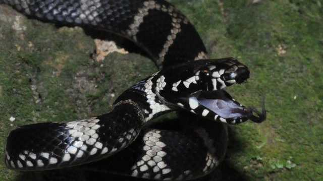 The Stephen's Banded python snake.