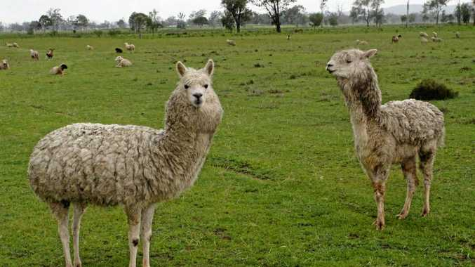 The two surviving alpacas after five of their mates were shot near Gatton on February 25.