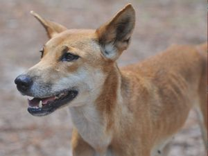 Professor poo-poos ear tagging of Fraser Island dingoes