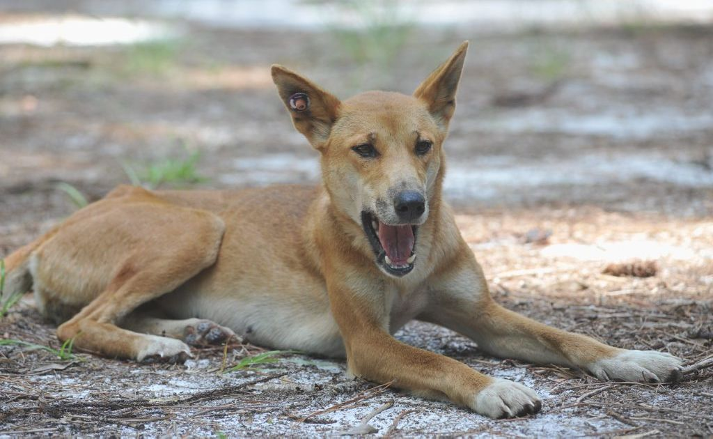 Visitors to Fraser Island over the Easter break have been warned to be wary around the island's dingoes.