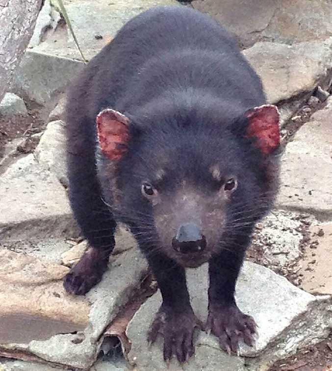 The Tasmanian devil.