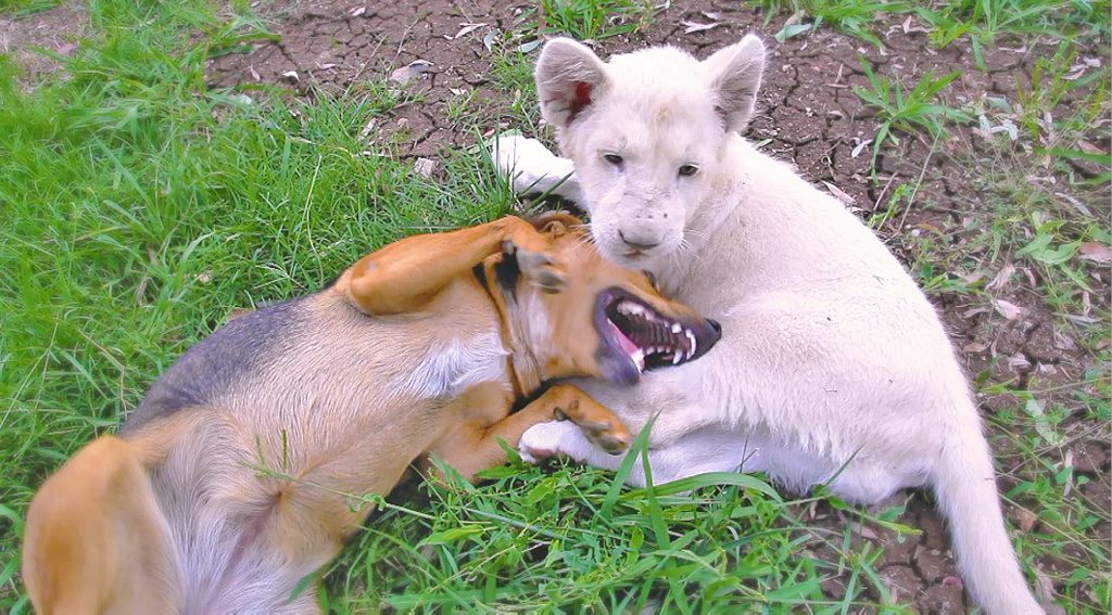 Kwanza the lion and Honey the dog enjoy each other's company at the Darling Downs Zoo. Photo Contributed