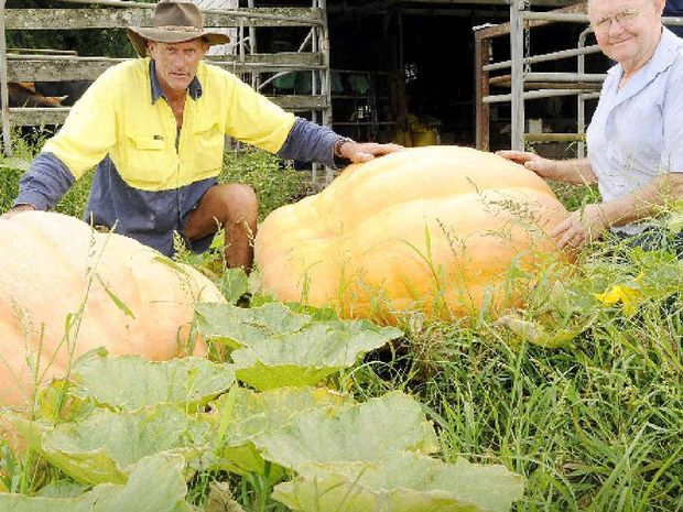 GOLDEN GLORY: Growing partners Stephen Leadbeatter and Kevin Donaghy, of Kyogle, with the two giant pumpkins they hope will bring them glory at the Kyogle Pumpkin Festival on Saturday. PHOTO: DOUG EATON