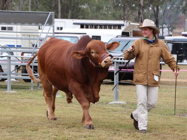 Gabrielle Penna leads a cow around for The Cathedral College show team at an agricultural show in Mt Larcom. Photo Contributed
