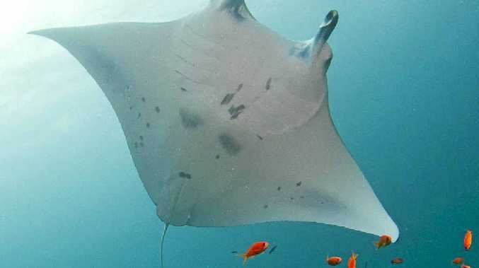 Beautiful manta rays off the Maldives.