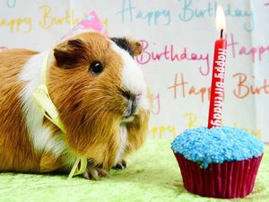 Guinea pigs prepare to celebrate with party