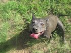 Somerset Regional Council is looking for the owners of this staffy which dodged death in the 2011 floods. Photo Contributed